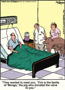Pig heart valve funny cartoon